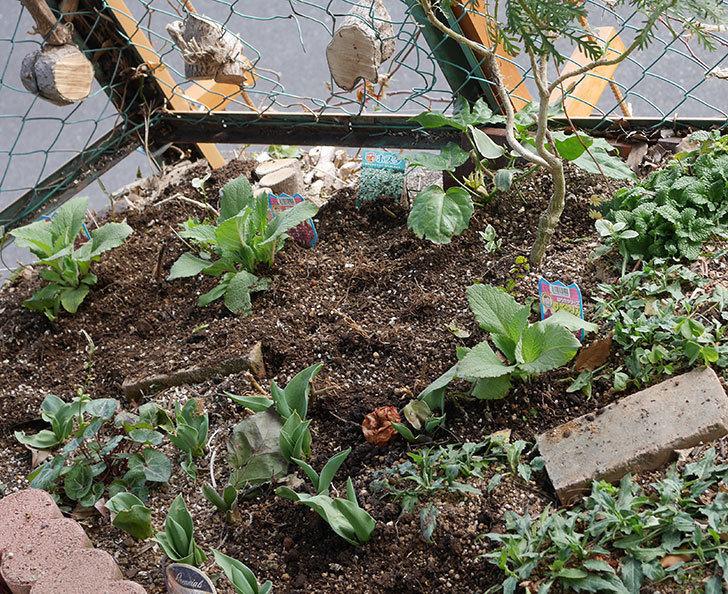 ジギタリスの苗を5個を地植えした。2020年-13.jpg