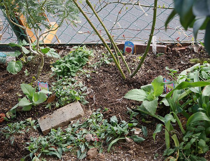 ジギタリスの苗を5個を地植えした。2020年-14.jpg