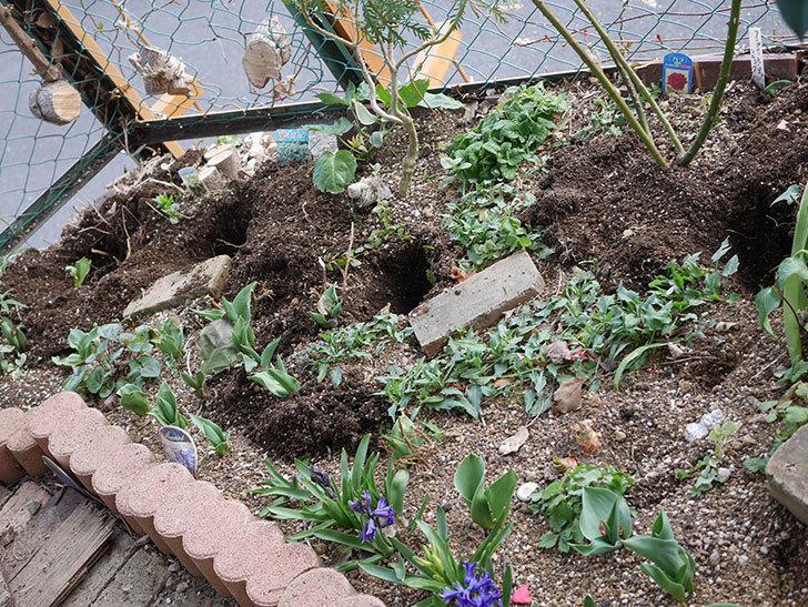 ジギタリスの苗を5個を地植えした。2020年-2.jpg