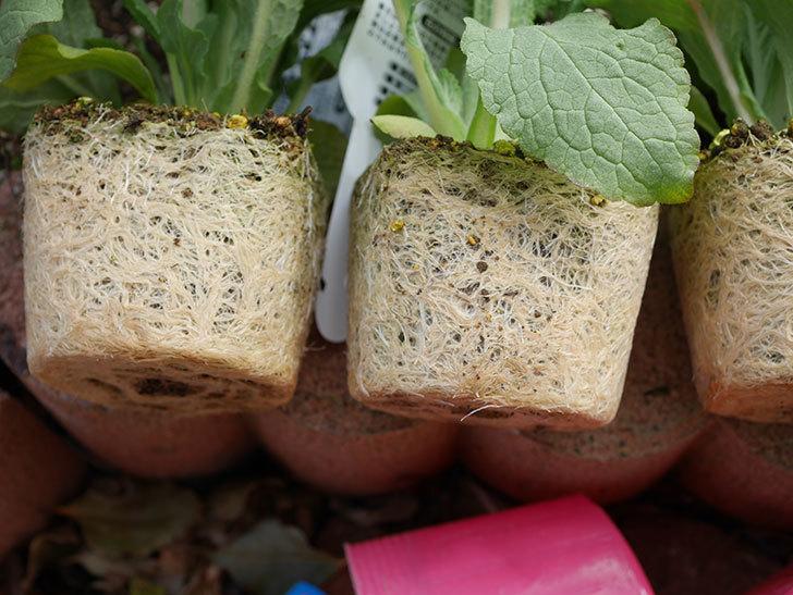 ジギタリスの苗を5個を地植えした。2020年-5.jpg