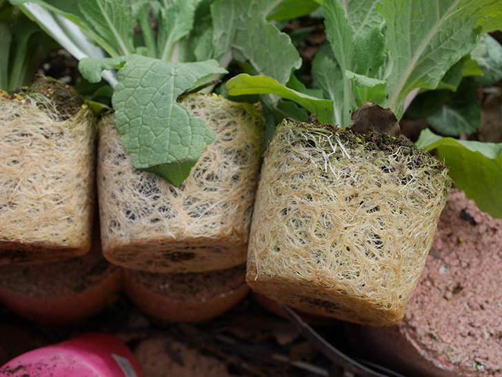 ジギタリスの苗を5個を地植えした。2020年-6.jpg