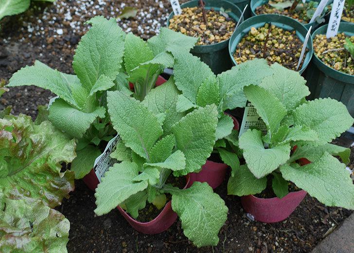 ジギタリスの苗を5個ホームズで買ってきた。2020年-1.jpg