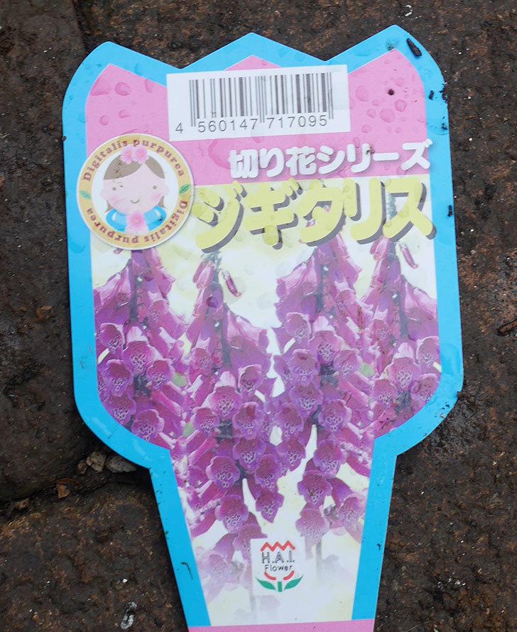 ジギタリスの苗を5個ホームズで買ってきた。2020年-4.jpg