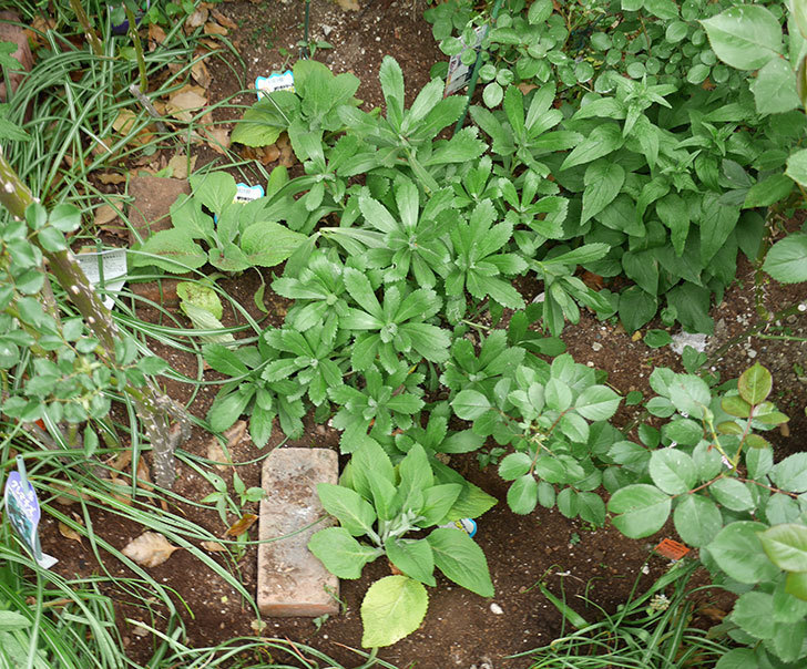 ジギタリスの苗を地植えした。2018年-1.jpg