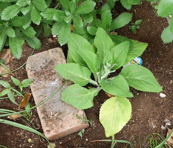 ジギタリスの苗を地植えした。2018年-13.jpg