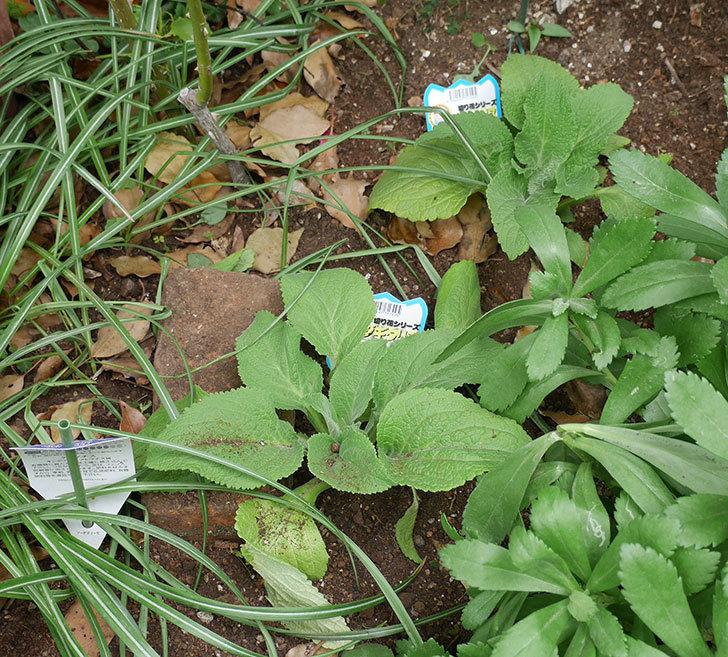 ジギタリスの苗を地植えした。2018年-14.jpg