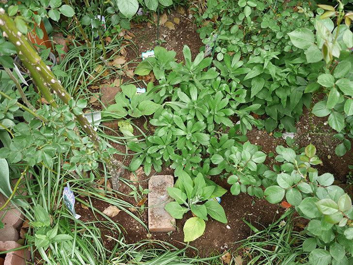 ジギタリスの苗を地植えした。2018年-15.jpg