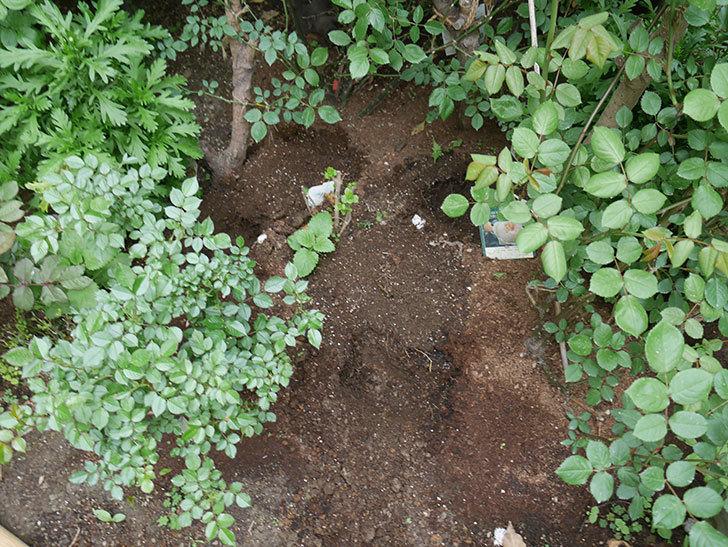 ジギタリスの苗を地植えした。2018年-2.jpg