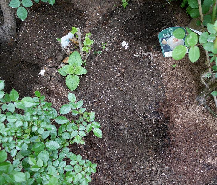 ジギタリスの苗を地植えした。2018年-3.jpg