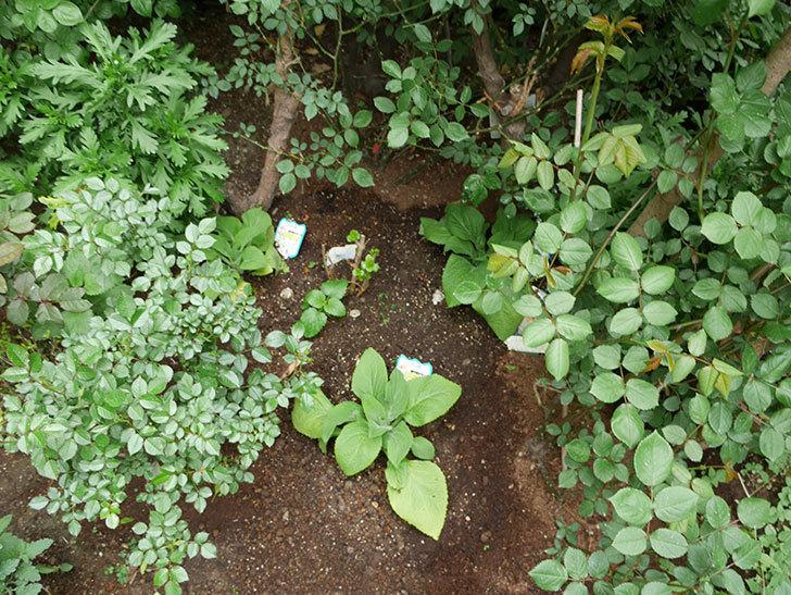 ジギタリスの苗を地植えした。2018年-5.jpg
