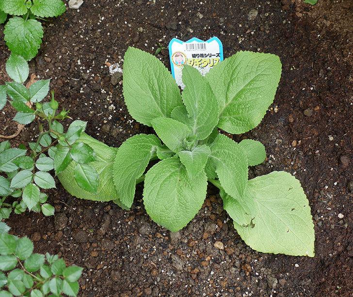ジギタリスの苗を地植えした。2018年-6.jpg