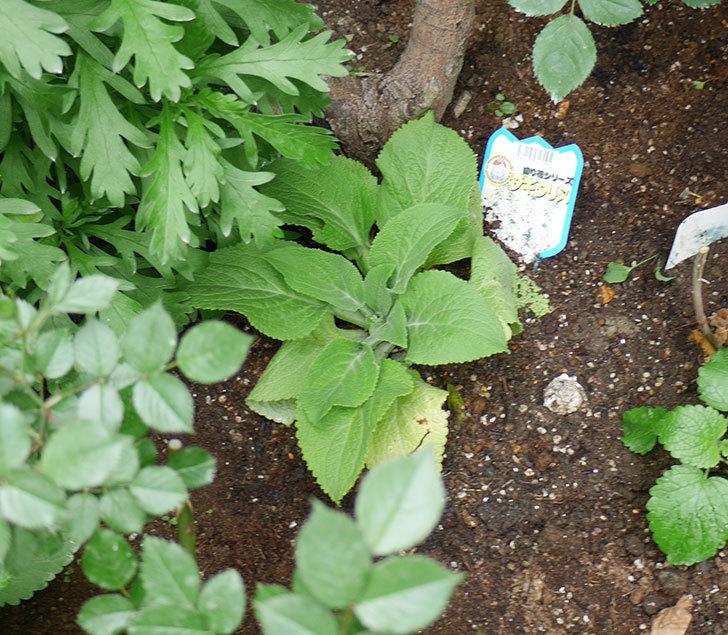 ジギタリスの苗を地植えした。2018年-8.jpg