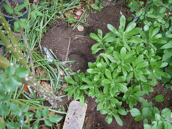 ジギタリスの苗を地植えした。2018年-9.jpg