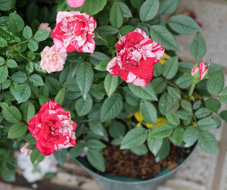 ジジ(ミニバラ)の2番花が咲いた。2019年-1.jpg