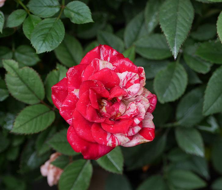 ジジ(ミニバラ)の2番花が咲いた。2019年-2.jpg