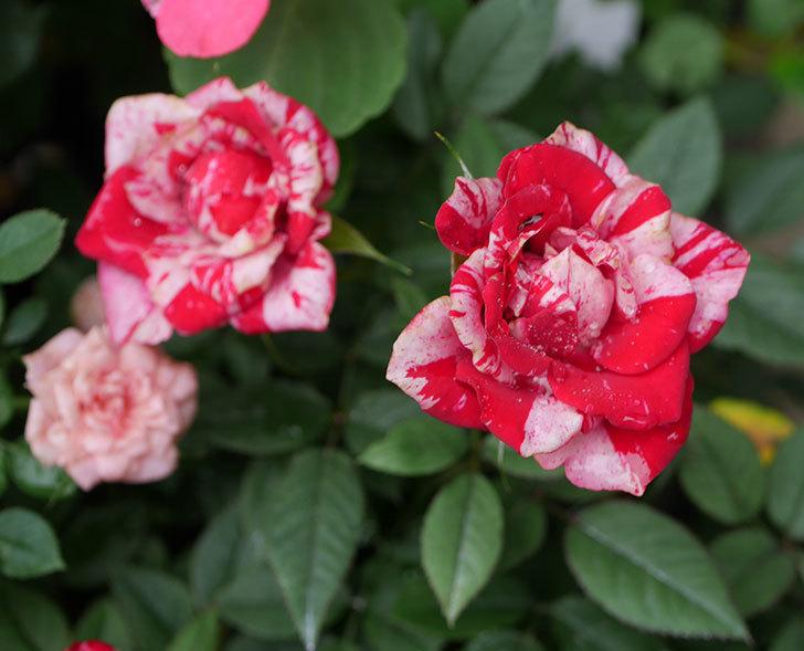 ジジ(ミニバラ)の2番花が咲いた。2019年-3.jpg