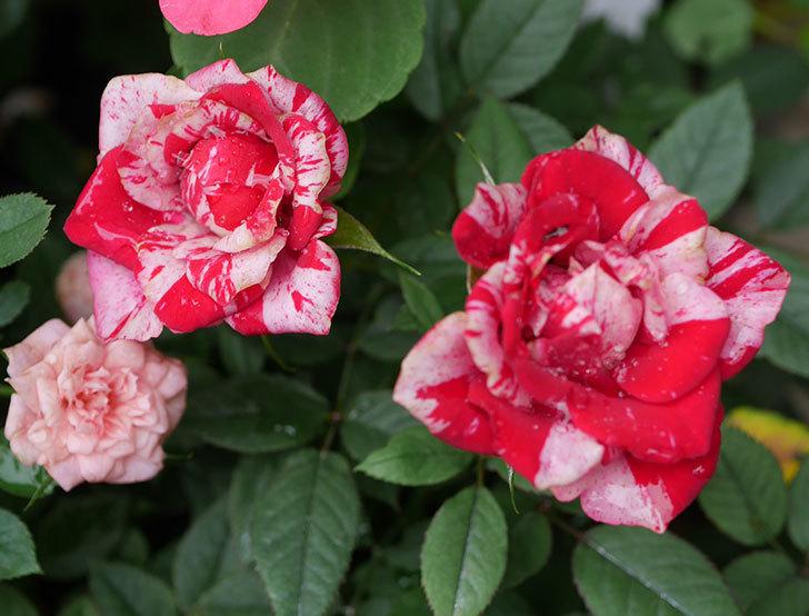 ジジ(ミニバラ)の2番花が咲いた。2019年-4.jpg