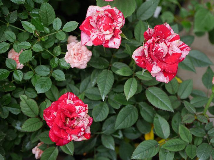 ジジ(ミニバラ)の2番花が咲いた。2019年-5.jpg