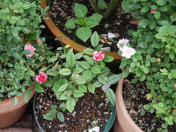 ジジ(ミニバラ)の2番花が咲いた。2020年-004.jpg