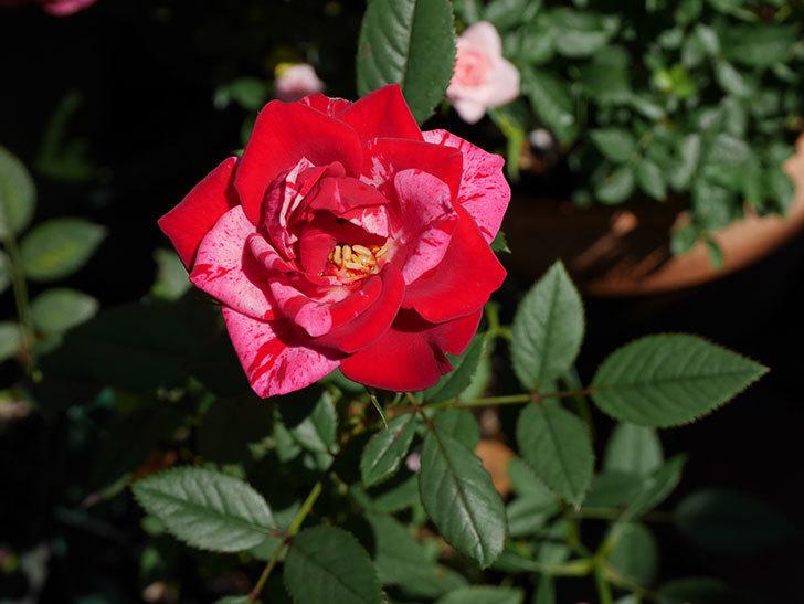 ジジ(ミニバラ)の夏花が咲いた。2020年-002.jpg