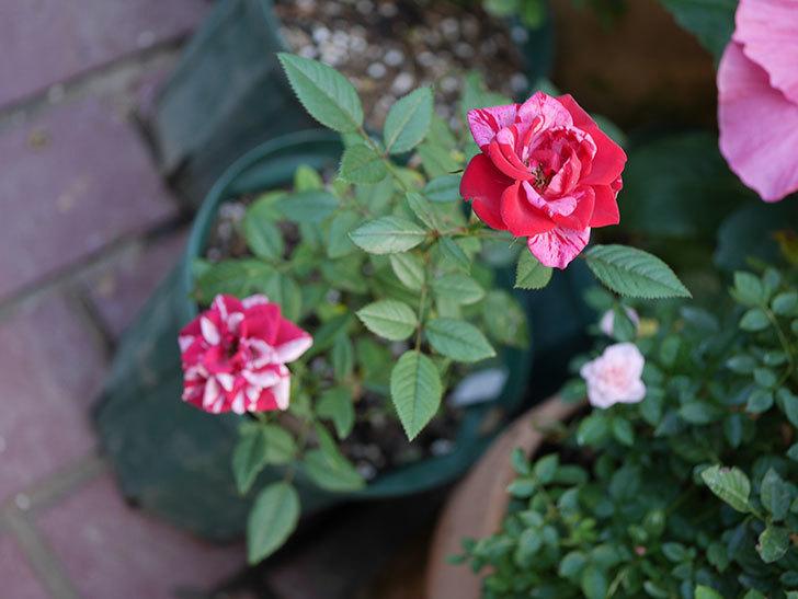 ジジ(ミニバラ)の夏花が咲いた。2020年-005.jpg
