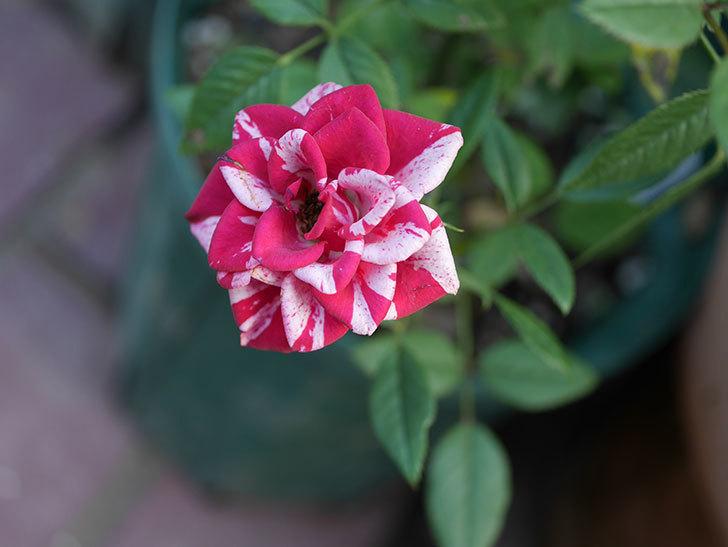 ジジ(ミニバラ)の夏花が咲いた。2020年-008.jpg
