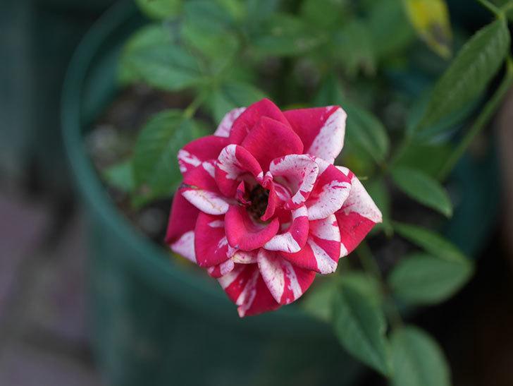 ジジ(ミニバラ)の夏花が咲いた。2020年-009.jpg