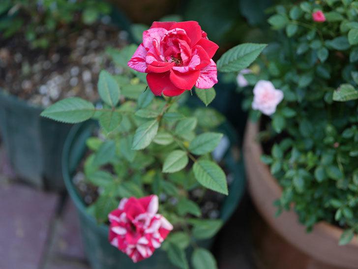 ジジ(ミニバラ)の夏花が咲いた。2020年-010.jpg