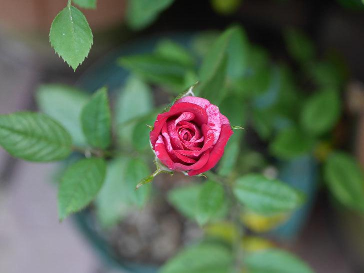 ジジ(ミニバラ)の夏花が咲いた。2020年-013.jpg