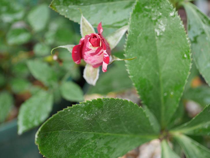 ジジ(ミニバラ)の秋花がまだ咲いている。2020年-006.jpg