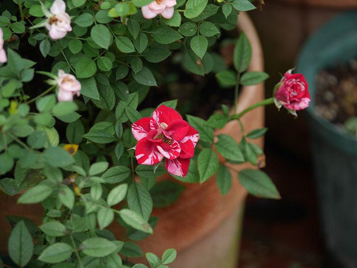 ジジ(ミニバラ)の秋花が咲いた。2020年-006.jpg