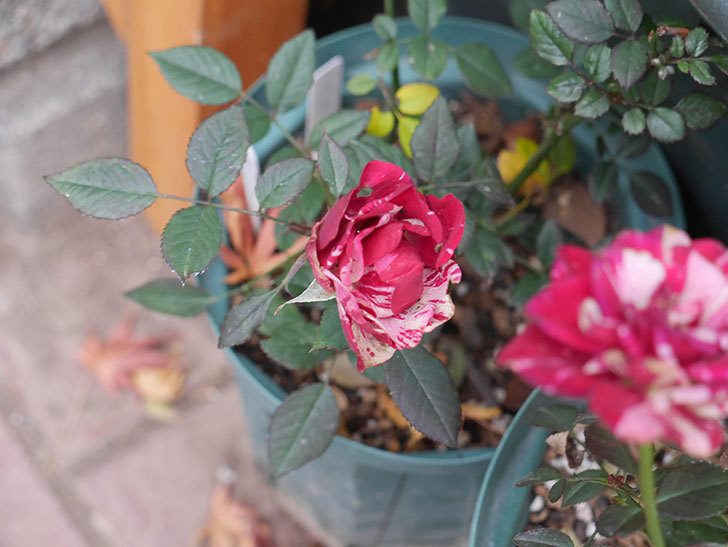 ジジ(ミニバラ)の花がまだ咲いている。2021年1月-001.jpg