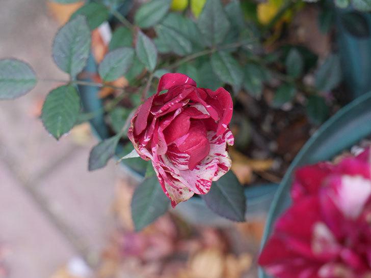 ジジ(ミニバラ)の花がまだ咲いている。2021年1月-002.jpg