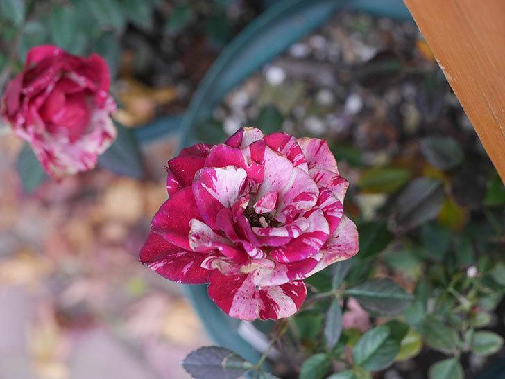 ジジ(ミニバラ)の花がまだ咲いている。2021年1月-005.jpg