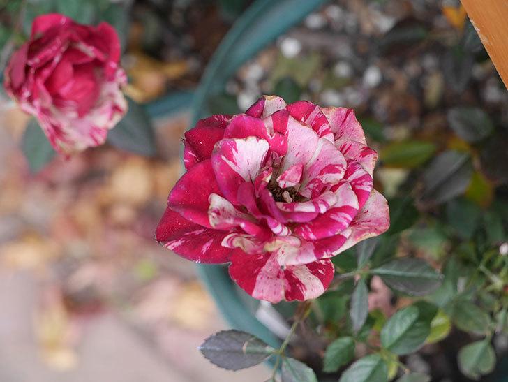 ジジ(ミニバラ)の花がまだ咲いている。2021年1月-006.jpg