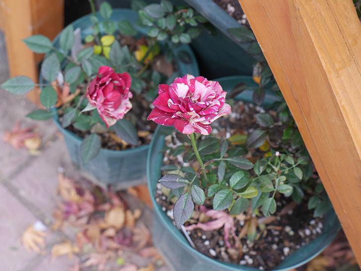 ジジ(ミニバラ)の花がまだ咲いている。2021年1月-008.jpg