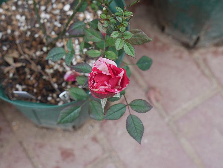 ジジ(ミニバラ)の花がまだ咲いている。2021年1月-009.jpg