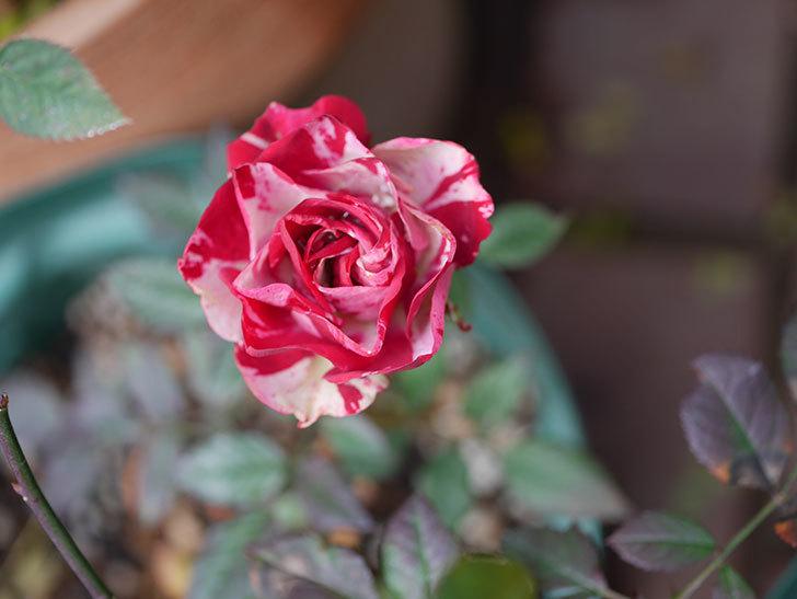 ジジ(ミニバラ)の花が咲いている。2021年1月-002.jpg