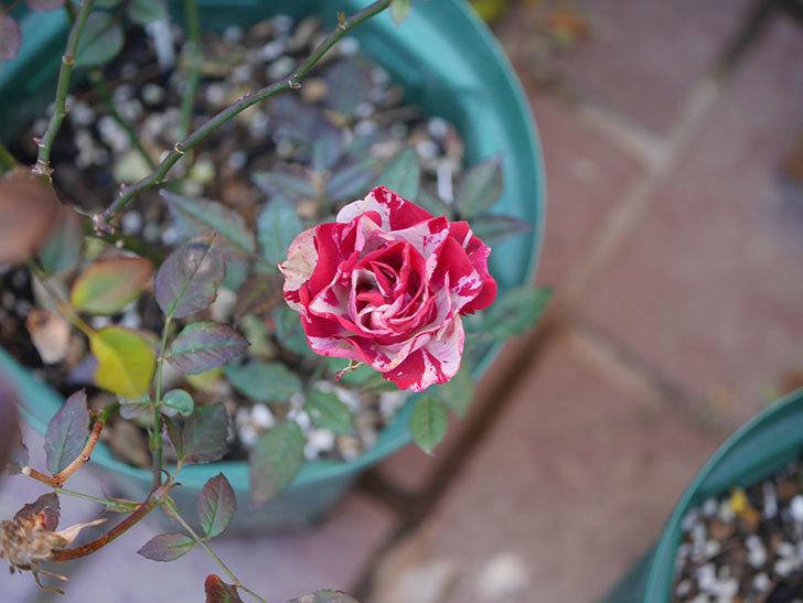 ジジ(ミニバラ)の花が咲いている。2021年1月-005.jpg