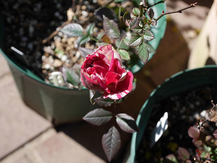 ジジ(ミニバラ)の花が咲いている。2021年1月-007.jpg