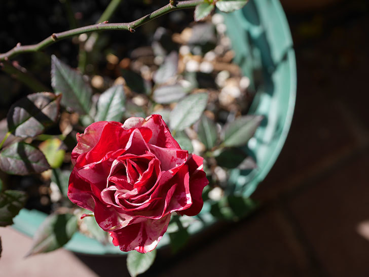 ジジ(ミニバラ)の花が咲いている。2021年1月-010.jpg