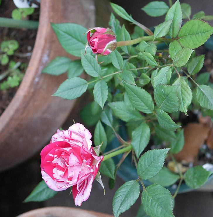 ジジ(ミニバラ)の花が増えてきた。2020年-1.jpg