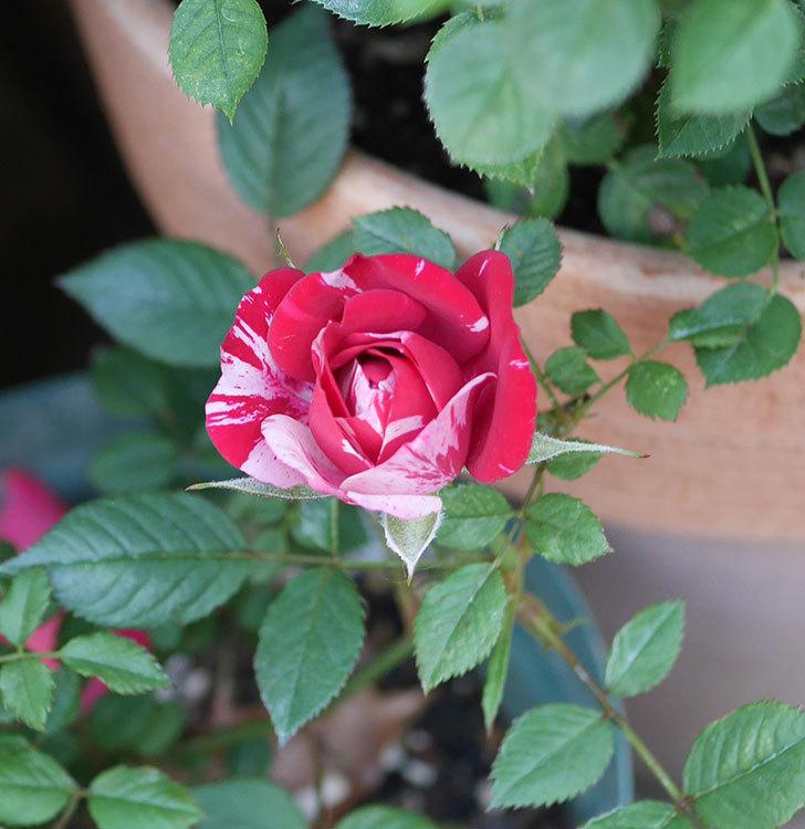 ジジ(ミニバラ)の花が増えてきた。2020年-3.jpg
