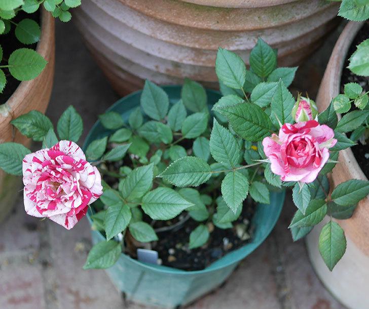 ジジ(ミニバラ)の花が増えてきた。2020年-4.jpg