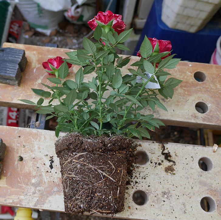 ジジ(ミニバラ)を5号ロングスリット鉢に植え替えた。2019年-1.jpg