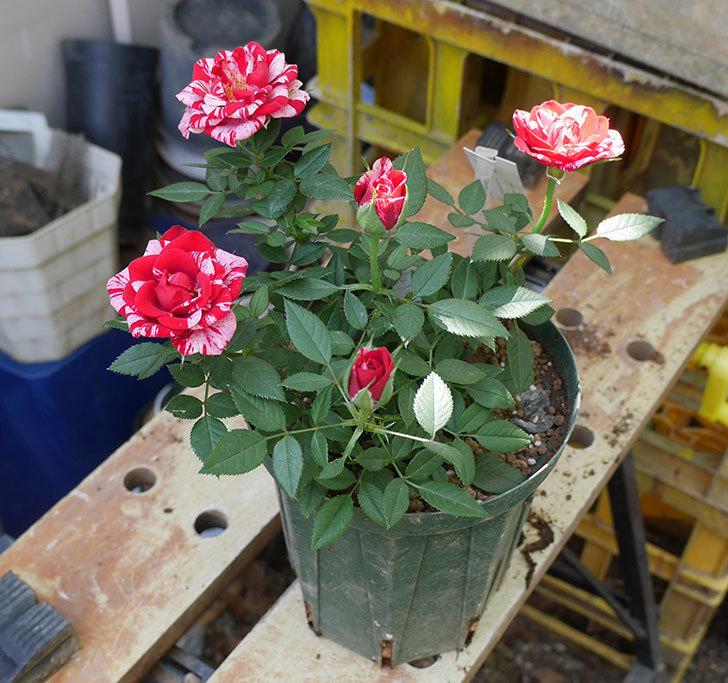 ジジ(ミニバラ)を5号ロングスリット鉢に植え替えた。2019年-3.jpg