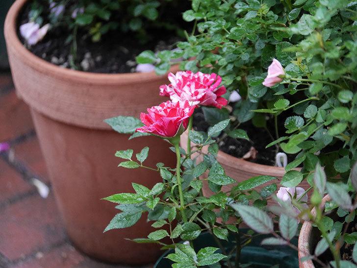 ジジ(Gigi)の花がたくさん咲いた。ミニバラ。2020年-001.jpg