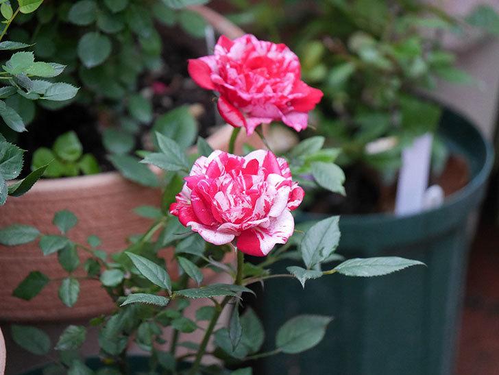 ジジ(Gigi)の花がたくさん咲いた。ミニバラ。2020年-023.jpg