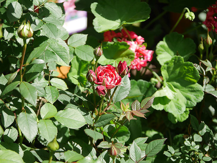ジジ(Gigi)の花が咲いた。ミニバラ。2021年-001.jpg