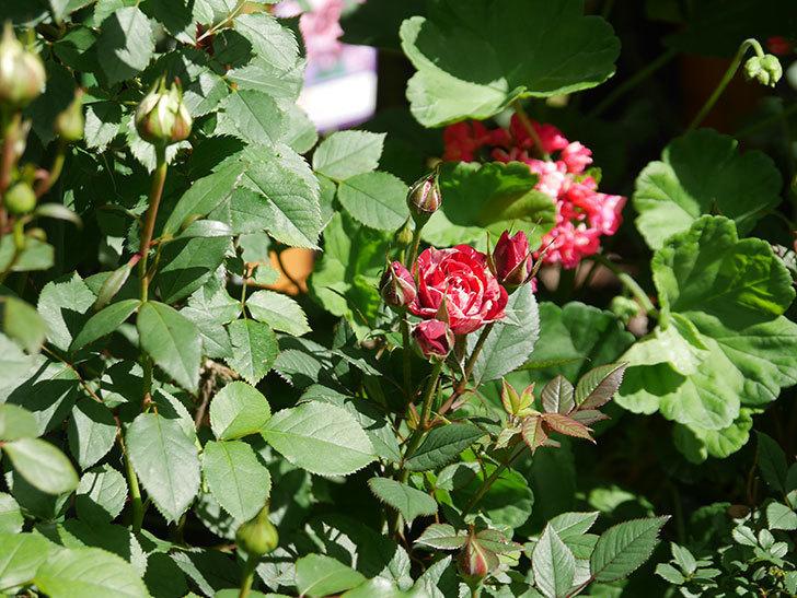 ジジ(Gigi)の花が咲いた。ミニバラ。2021年-002.jpg